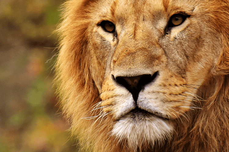 face of a male lion